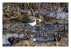 Lapwing in the Mud (go18lf2004) Tags: colour reflection mud feeding wetlands lapwing arundel wading wader