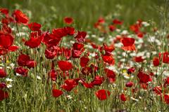 Amapolas (cruzjimnezgmez) Tags: flor flores amapolas rojas silvestres campos espaa naturaleza