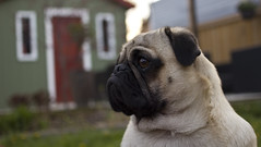 Pug Profile (Deep-Fried Goodness) Tags: dog cute pug dexter