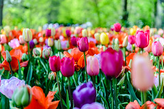 Tulips from Holland (angheloflores) Tags: flowers netherlands colors beautiful garden lights tulips keukenhof northholland