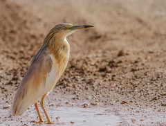 Squacco Heron (Matt φ Smith) Tags: bird nature flickr canon cyprus colour color sunny bright wildlife heron cyprusbirds cyprusbirding cyprusbirdwatching cyprusbirdingtours cyprusbirdwatchingtours cyprusguidedtours birdmigration europeanbirds ecotours cyprusecotours cyprussafari safari highquality birding birdwatching nois noimagestabilizer handheld birdingtourscyprus birdwatchingtourscyprus animal outdoor professionalphotography westernpalearctic nationalgeographic bbcearth birdwatch rspb birdlifeinternational twitch art ethicalphotography