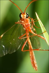 Hanging Out (muledriver) Tags: macro nature insects ichneumon wasps