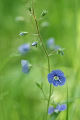 Veronica chamaedrys (aj_nicolson) Tags: blue flower green nature rural outdoors soft veronica wildflower speedwell chamaedrys wodland appicoftheweek