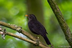 Eurasian Blackbird (Turdus merula) (Bart Ducheyne) Tags: bird nature natuur turdusmerula vogel merel eurasianblackbird merlenoir