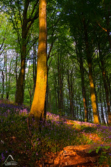 Great and Small (kramelliott) Tags: sunset sunlight colour detail nature beautiful beauty bluebells forest canon woodland wonder landscape evening spring shadows natural mark walk small great warmth portglenone creation northernireland ni ef 1740mm elliott amazed discover intricate f4l eos700d