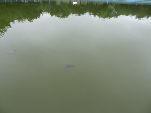 Two Turtles?  In a park lake