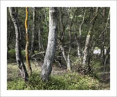 SIDEWINDER (SwaloPhoto) Tags: trees scotland fife forestry branches commission fcs devillaforest fujinonxf23mmf14r fujixt1