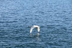 Flying Swan in Montreux, SwitzerlandWild Swan in Montreux, Switzerland (MathCrln) Tags: bridge france nature alpes de switzerland la swan suisse pont animaux col cygne constructions hautesavoie forclaz chanaz caille paisible