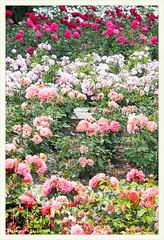 Rosarium Baden bei Wien   2014-06 (Brigitte Rieser) Tags: park rose austria jardin rosa parc rosegarden niedersterreich rosengarten pergola badenbeiwien rosenbogen rosarium roseraie rosenpark doblhoffpark naturimgarten