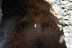 Spiderweb (dracophylla) Tags: spiderweb tasmania freycinetnationalpark