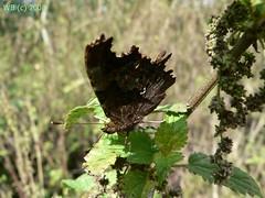 P1110558 wb (bwagnerfoto) Tags: macro animal fauna butterfly insect llat comma schmetterling polygonia rovar pillang calbum lepke cfalter tagfalter edelfalter cbets