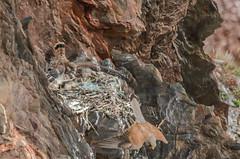 Kestrel nest 2 (Matchman Devon) Tags: kestrel nest chick young south hams devon