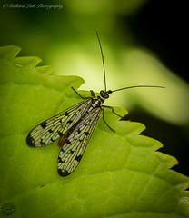 scorpion fly (Richard Leah Photography) Tags: macro nature closeup wildlife insects bugs flies scorpionfly sigma105mm fliy nikond800
