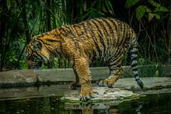 Suka (ToddLahman) Tags: baby canon teddy tiger tigers joanne suka escondido tigercub babytiger tigertrail babysumatrantiger babysuka