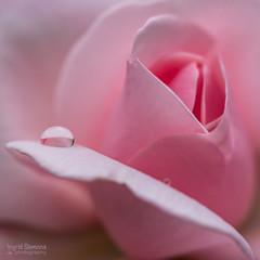 Pink Pearl (Inky-NL) Tags: pink roses flower macro rose garden petals drops pastel roos micro d750 blaadjes tuin waterdrops rozen bloem 105mm bloemblaadjes waterdruppel nikonafsvr105mmf28gifed nikond750 ingridsiemons©2016