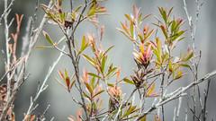 Orange and Green (Theen ...) Tags: leucadendron adelaide adelaidephotography ashy bridgewater bushfire damage englewoodreserve green group lumix meetup orange pink stalks stems theen togs white
