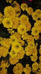 Marigolds (cjacobs53) Tags: flower yellow annual jacobs marigold hunt scavenger yearly jacobsusa 116picturesin2016