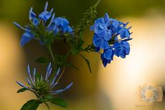 untitled-3.jpg (EGM2002) Tags: flowers blue canon garden eos is depthoffield usm ef 70200mm blueflowers ef70200mm f4l canonef70200mmf4lisusm canon7dmkii 7dmkii canoneos7dmkii