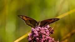 celui-ci s'est pos sur une fleur (Yasmine Hens) Tags: flower nature fleur butterfly europa flickr belgium ngc papillon namur hens yasmine wallonie world100f iamflickr flickrunitedaward hensyasmine
