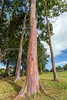 Rainbow trees (PIERRE LECLERC PHOTO) Tags: life trees tree nature colors forest wow happy hawaii amazing rainbow colorful natural awesome joy happiness bark kauai eucalyptus magical rainbowtree pierreleclercphotography