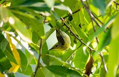 Olive-backed Sunbird (Female) (ellisified) Tags: red olive sunbird female pas pasirris singapore