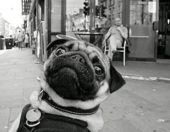 Pug Life (Becky Frances) Tags: city uk england urban blackandwhite dog london candid streetphotography documentary pug olympus shoreditch bricklane socialdocumentary eastend eastlondon 2016 blackandwhitestreetphotography lensblr beckyfrances