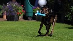 Joy (picturephilipp) Tags: dog run speed hund rennen laufen spielzeug toy frozen shot eingefroren