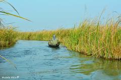 #IRAQI MARSHES.   (Mustafa Ala'a) Tags: marshes iraq mesoptamian world heritage list unisco nasiriyah basrah amarah baghdad history sumerians