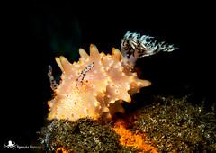 Halgerda batangas (Agnieszka Adamczyk) Tags: macrophotography underwaterpic uwphotography nudibranch nudibranquio olympuscamera tulamben bali indonesia epl5 underwaterworld sealife oceanlife macro halgerdabatangas fotografiasubacuatica microfotografa