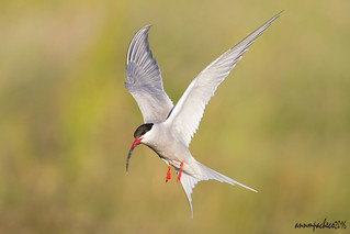 arctic tern in Iceland