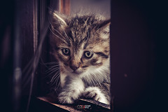 Nuevas generaciones (Yezrael Prez) Tags: cats nikon kitten kittens animales gatitos mascotas nikonphotography gatosgatetes