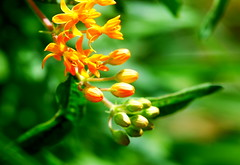 My Summer garden (Renee Rendler-Kaplan) Tags: flowers orange plant green nature june garden outside outdoors backyard nikon bright blossoms handheld buds blooms 2016 butterflyplant nikond80 beautifulmothernature mysummergarden reneerendlerkaplan