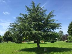 Cdre du Liban (stefff13) Tags: arbre parc liban cdre saclay