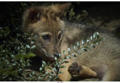 Canis aureus Puppy (Strange Artifact) Tags: olympus em10 markii mzuiko digital ed 75300mm f4867 ii canis aureus golden jackal burgers zoo