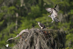 I'm Home! (santosh_shanmuga) Tags: osprey fish hawk eagle parents mom dad nest young care brood chick baby feed bird birding aves birdofprey raptor wild wildlife nature animal outdoor outdoors nikon d3s 500mm fl florida palm beach bluecypress cypress