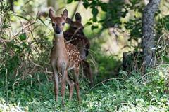 Polka & Dot (NBTXN) Tags: sanantonio twins texas deer polkadots spots fawn cuteness whitetail whitetaildeer babydeer selmaparkestates