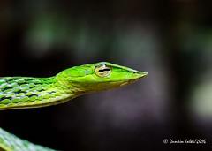(Dunkin Jalki) Tags: green snake greenvinesnake ahaetullanasuta