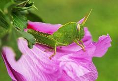 GRASSHOPPER (Franzxx70) Tags: yirtk sauterelle cavalletta green prato fiore flower garden giardino insetto bug grasshopper verde vert lovely simpatia funny outdoor sauteur jumper jumpperi heinsirkka park kukka
