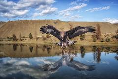 Eagles Eye Reflection. (superdavebrem77) Tags: reflection raptor goldeagle britishcolumbia composite raptorconservancy fantasy