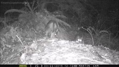Jumpy Coyote family on my trail camera (the_coprolite) Tags: coyote canada bc britishcolumbia sfu burnaby burnabymountain univercity trailcam