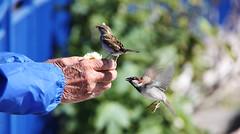 Inbound... (Ray Crabb) Tags: blue france birds nice mediterranean hand feed 2013