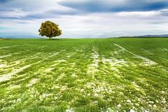 Campos en verde (Inmacor) Tags: espaa naturaleza tree verde primavera nature landscape arbol spring paisaje uno ltytr2 ltytr1 useras inmacor