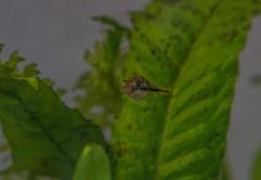 Dwarf Pufferfish (mojave955) Tags: fish aquarium southerncalifornia freshwater    dwarfpufferfish