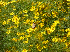 Monarch butterfly and yellow flowers, just off Highway 1 (P1100438) (alg24) Tags: california flowers plants usa plant flower mystery america butterfly us flickr unitedstates unitedstatesofamerica butterflies bigsur yellowflower highway1 orangebutterfly yellowflowers route1 monarchbutterfly orangebutterflies danausplexippus monarchbutterflies