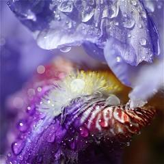 photo macro au carré fleur d'iris & gouttes de pluie (BOILLON CHRISTOPHE) Tags: iris flower nature water fleur colorful expo couleurs chamonixmontblanc gouttesdeau 105mmf28gvrmicro nikond3 photoboillonchristophe