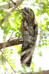 Nyctibius jamaicensis - Northern Potoo (Roger Wasley) Tags: birds jamaica caribbean westindies neotropical northernpotoo nyctibiusjamaicensis endemicrace greencastleestate robinsbays
