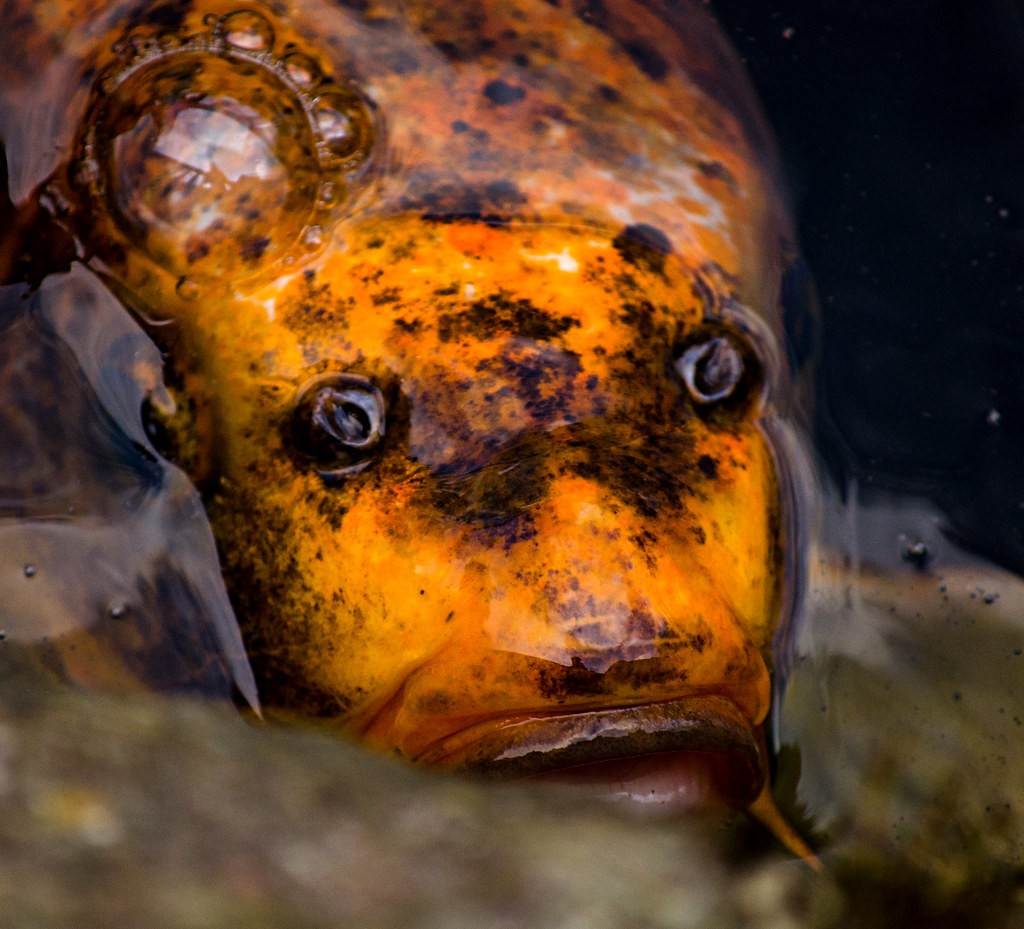 The World's Best Photos Of Carp And Orange