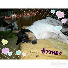 เกิดเป็นลูกครึ่งทั้งที...สบายให้ได้อย่างผมคร๊าบ #ลูกครึ่งหมาผสมวัว #ลูกเทวดา #ชื่อเล่นอูก้าอูก้า #ชื่อจริงข้าวทอง  #หมาเป็นสัตว์ประเสริฐ #อาน้องกล่าว