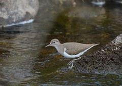 Common Sandpiper.1. (jimbrownrosyth) Tags: