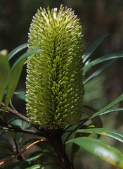 Banksia integrifola ssp monticola, Barrington Tops National Park, NSW, 07/02/15 (Russell Cumming) Tags: plant newsouthwales banksia muswellbrook proteaceae banksiaintegrifolia barringtontopsnationalpark banksiaintegrifoliamonticola